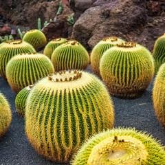 Gran Canaria cactus