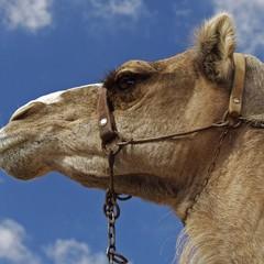 Gran Canaria cammello a Maspalomas