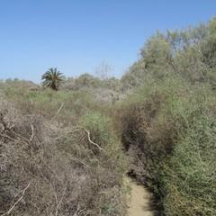 Vegetazione spontanea nelle dune di Maspalomas  - Gran Canaria