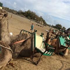 Tour dei cammelli a Maspalomas in Gran Canaria